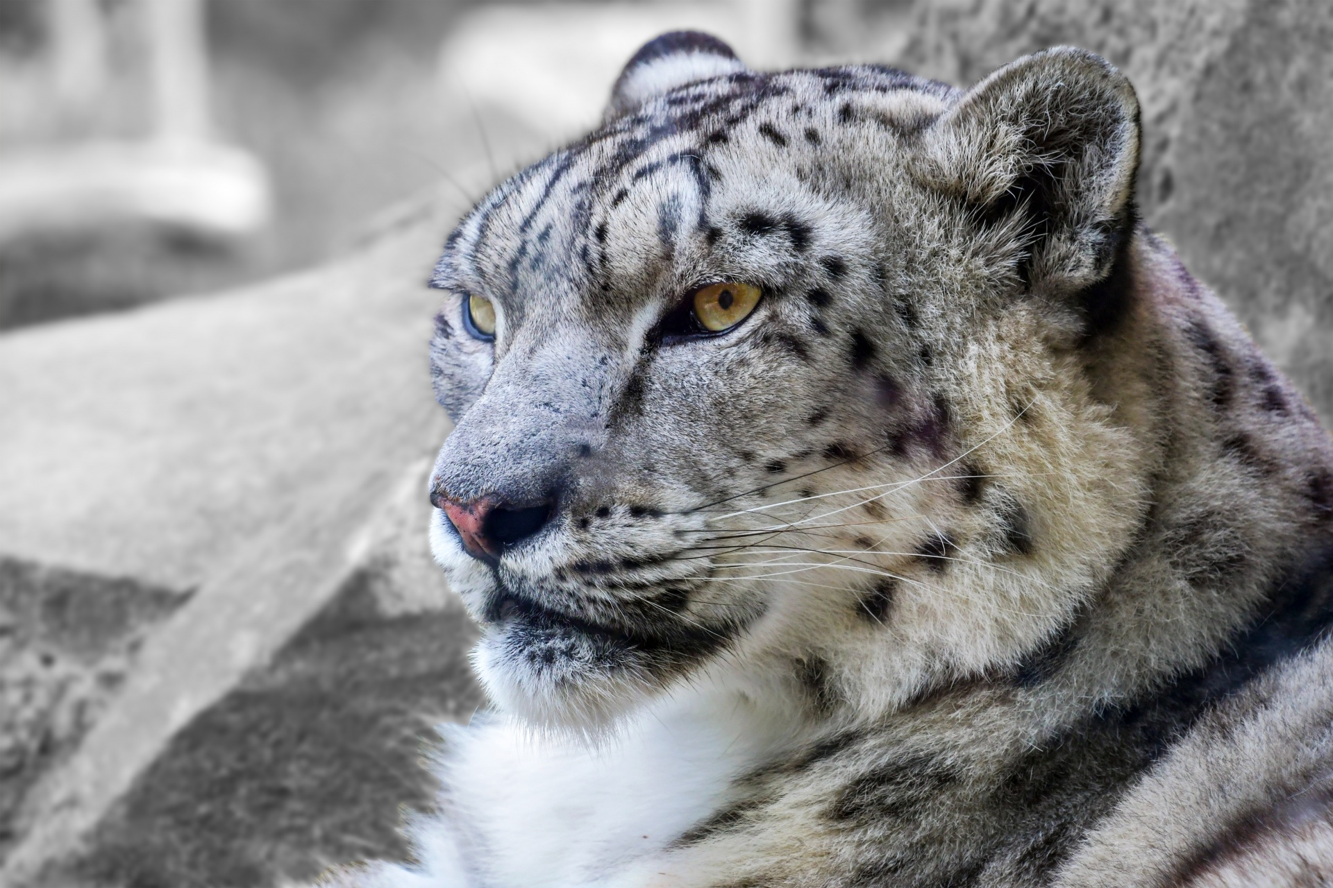 INDIA PLANS TO COUNT ITS SNOW LEOPARD POPULATION