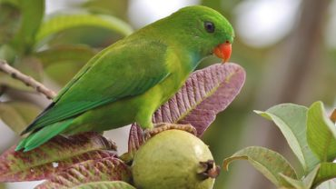 vernal-hanging-parrot-indian-lorikeet
