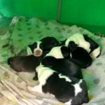 ABANDONED IN A CARDBOARD BOX NEXT TO A DUMPSTER. OIPA TUNISIE SAVES A LITTER OF SIX PUPPIES