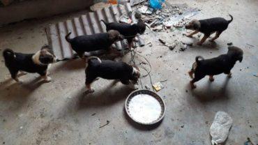 nepal-dogs1