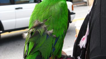 parrot-clipped-wings