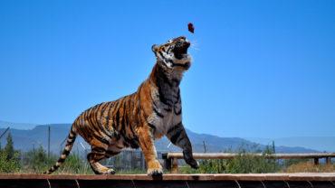 tiger-fed