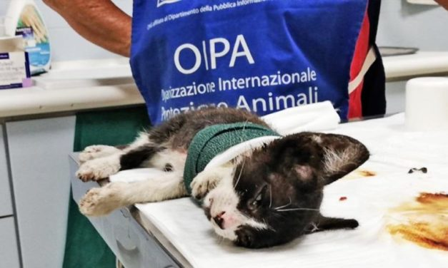 SALVO, 3 MONTHS OLD KITTEN, RESCUED BY THE VOLUNTEERS OF OIPA ITALY IN EXTREME PAIN AND WITH A SEVERE INJURY TO HIS PAW