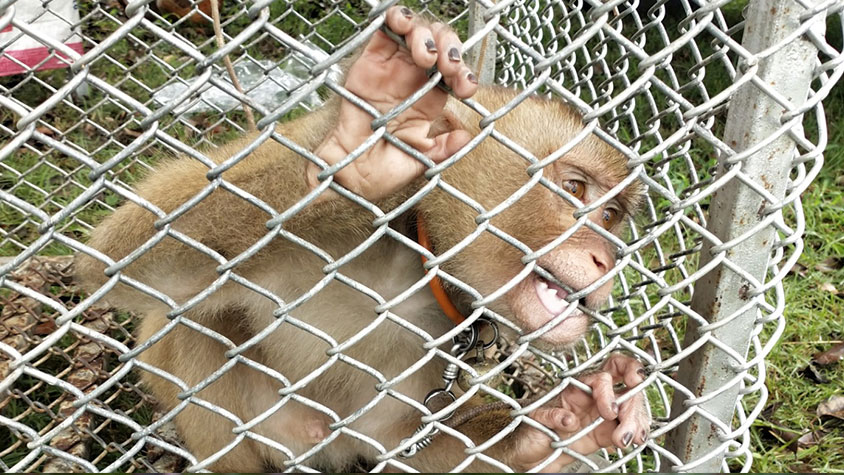THAILAND, MONKEYS EXPLOITED AS COCONUT-PICKING MACHINES
