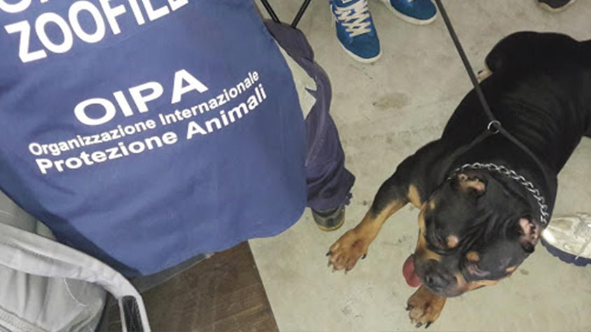 """OPERATION """"DIRTY BEAUTY"""", INVESTIGATIONS BY OIPA ANIMAL CONTROL OFFICERS OVER THE ILLEGAL PRACTISE OF THE EAR CROPPING AND TAIL DOCKING IN ITALY"""