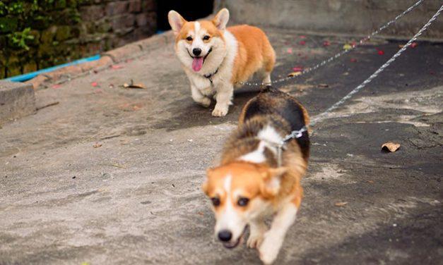 DOG WALKING BAN: IS WEIXIN (CHINA) RECONSIDERING ITS DECISION AFTER SOCIAL MEDIA BACKLASH?