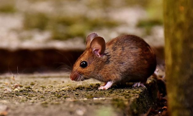 OIPA INDIA BATTLES AGAINST THE USE OF GLUE TRAPS FOR RODENTS