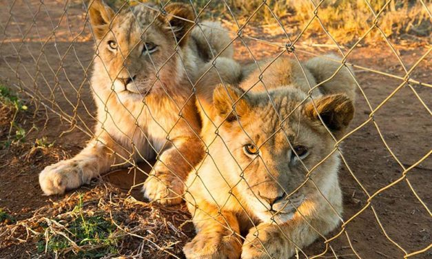OIPA INTERNATIONAL AND OTHER NGOS PRESS THE SOUTH AFRICA GOVERNMENT TO BAN CAPTIVE LION BREEDING INDUSTRY AND ITS ASSOCIATED ACTIVITIES