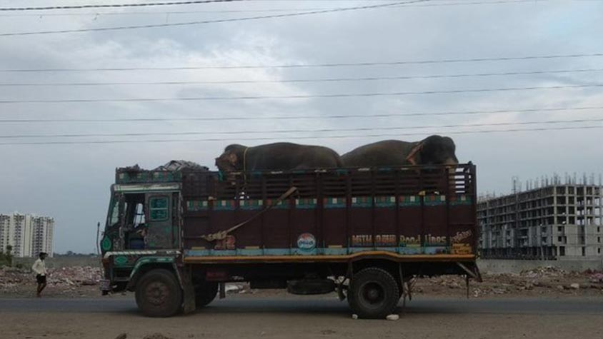 THANKS OIPA INDIA! GREAT GOLDEN CIRCUS LOSES RECOGNITION FOR USING ELEPHANTS AS PERFORMERS