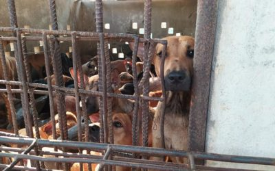 MINIVAN CARRYING 61 DOGS TO AN ILLEGAL SLAUGHTERHOUSE INTERCEPTED IN CAMBODIA