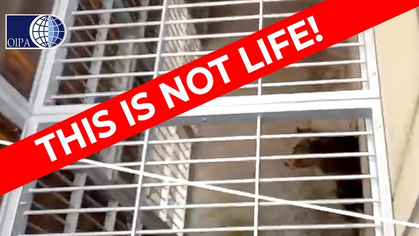 ITALY, 3 BEARS IMPRISONED IN SMALL CAGES INSIDE A WILDLIFE RESCUE CENTER. OIPA INTERNATIONAL WRITES TO THE EURO PARLIAMENT AND REPORTS THEIR GREAT SUFFERING