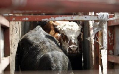 CATTLE ABOARD ELBEIK: AFTER THREE MONTHS, ORDER TO DOCK IN CARTAGENA. OIPA INTERNATIONAL WRITES TO THE SPANISH MINITRY OF AGRICULTURE, FISHERIES AND FOOD NOT TO REPEAT A SECOND KARIM-ALLAH