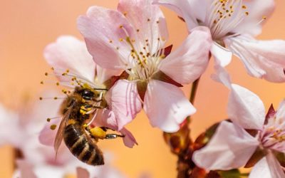 THE EFFECT OF NEONICOTINOIDS ON BEES
