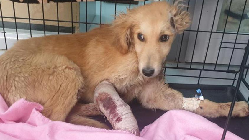 FOUND SUFFERING AND WITH A BROKEN LEG, MARIO IS NOW SAVE AND ONCE RECOVERED HE WILL LOOK FOR A FAMILY