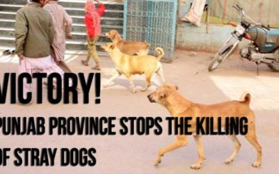 A PARTIAL VICTORY FOR STRAY DOGS IN PAKISTAN: CULLINGS STOP IN PUNJAB PROVINCE