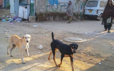 PAKISTAN, IN SINDH REGION THE CULLING OF STRAY DOGS CONTINUES. OIPA REPLIES TO SINDH HEALTH MINISTER