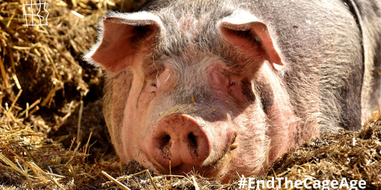 HISTORIC DAY FOR ANIMAL WELFARE IN EUROPE: EU COMMISSION COMMITS TO PHASE OUT CAGES