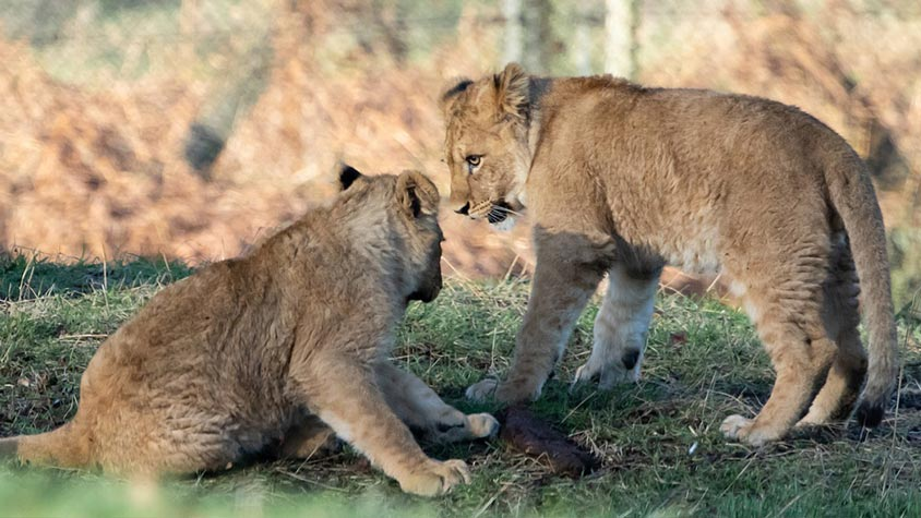 SOUTH AFRICAN GOVERNMENT RELEASES POLICY DOCUMENT TO END THE CAPTIVE BREEDING INDUSTRY IN THE COUNTRY