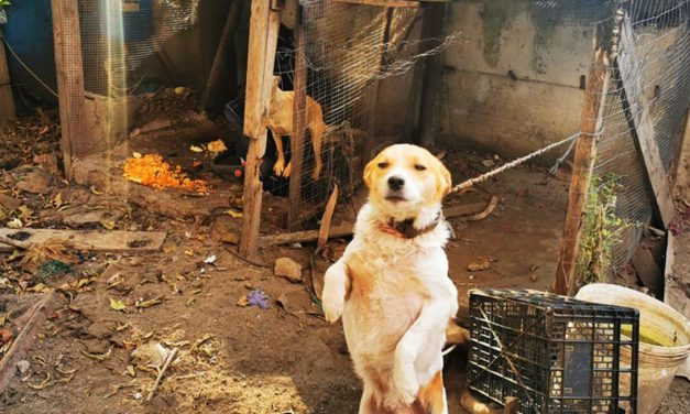 THREE DOGS SEIZED BY OIPA ITALY'S ANIMAL CONTROL OFFICERS. THE OWNER REPORTED FOR ANIMAL CRUELTY AND ABANDONMENT