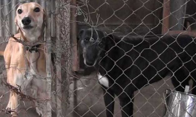END DOG RACING IN NEW ZEALAND: DON'T GAMBLE WITH THEIR LIFE