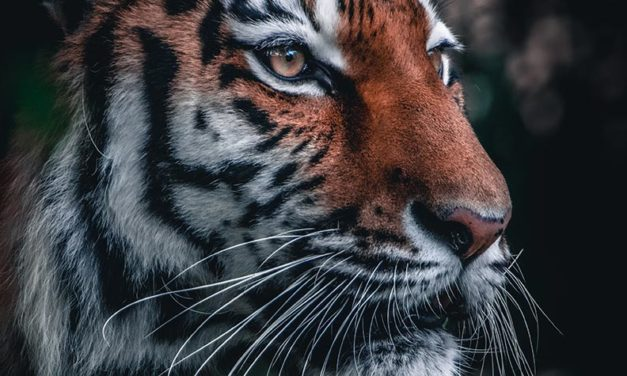 WORLD TIGER DAY – SOUTH AFRICA BREEDS TIGERS AND LIONS FOR TRADITIONAL MEDICINE