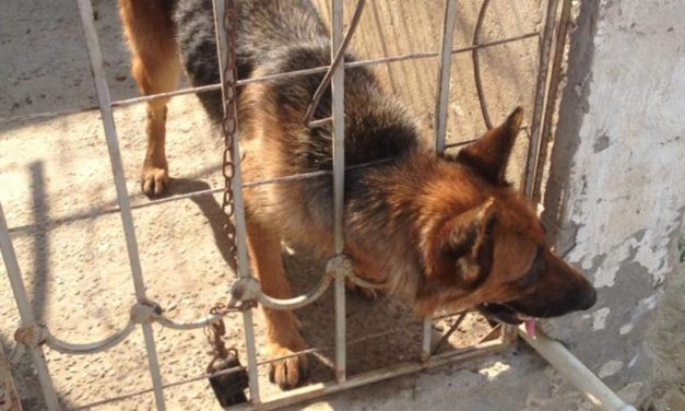 KATY, THE GERMAN SHEPHERD DOG, LEFT IN A CAGE FOR YEARS WITH NO CARE AND MEDICAL TREATMENT. NOW SHE IS FREE THANKS TO OIPA AZERBAIJAN