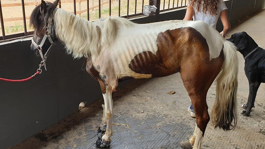 THE RESCUE OF CARLOTTA, PONY SEGREGATED FOR ELEVEN YEARS. SHE NOW DESERVES THE TIME LEFT AWAY FROM SUFFERING