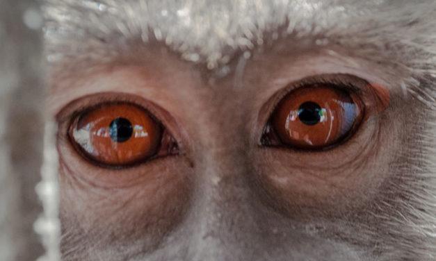 SENTENZA DEL CONSIGLIO DI STATO CONDANNA I MACACHI: CONTRO LA SPERIMENTAZIONE SUGLI ANIMALI OIPA E LIMAV NON SI FERMERANNO MAI