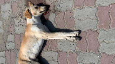dead_stray_dog_dubai-1600x1200