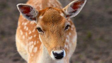 fallow-deer-3729821_640