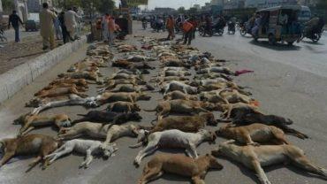 pakistan-straydogs-5